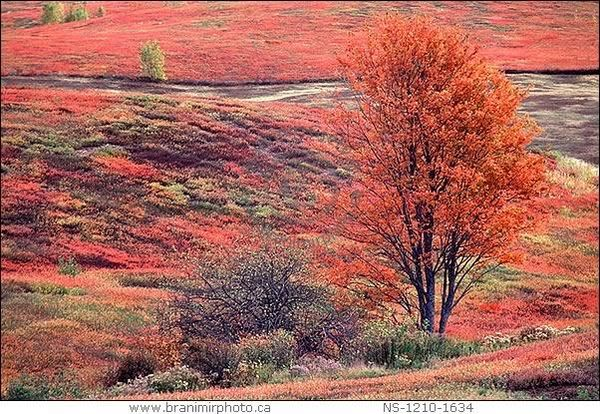 Oxford, Nova Scotia Blueberry fields in Autumn