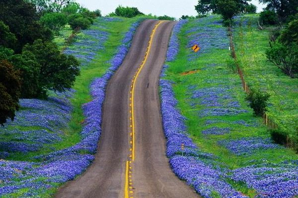 Texas Bluebonnets in bloom along the Big Bend