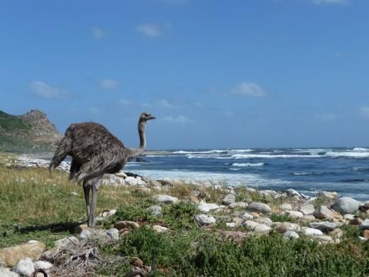 An Ostrich at Cape of Good Hope, South Africa